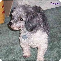 Adopt A Pet :: Jacques - Dayton, OH