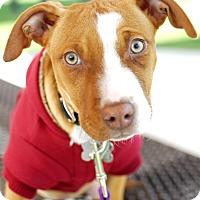 Adopt A Pet :: Hemi-Pending! - Detroit, MI
