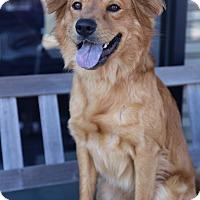 Adopt A Pet :: Boomer - Manassas, VA