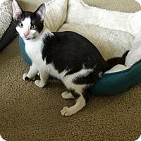 Adopt A Pet :: Dassie - Baltimore, MD