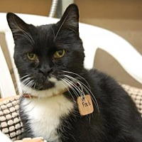 Domestic Shorthair Cat for adoption in Montreal, Quebec - Pooh