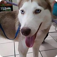 Adopt A Pet :: Koko - Clearwater, FL