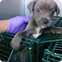 Adopt A Pet :: KAY - San Antonio, TX