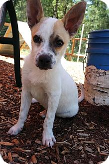 rat terrier australian cattle dog mix gus gus adopted puppy eugene or rat terrier 5849