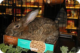 Flemish Giant Mix for adoption in Hazlet, New Jersey - Sasquash