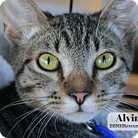Adopt A Pet :: Alvin - Temecula, CA