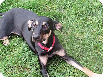 Doberman Pinscher Mix Puppy for adoption in Appleton, Wisconsin - Gemma *REBOUND*