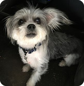 Lhasa Apso Dog for adoption in Apple Valley, California - Tuxedo- ADOPTED 11/27/16!