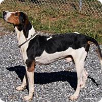 Treeing Walker Coonhound/Hound (Unknown Type) Mix Dog for adoption in Lincolnton, North Carolina - Shreck