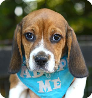 Beagle Mix Puppy for adoption in West Grove, Pennsylvania - Shaggy