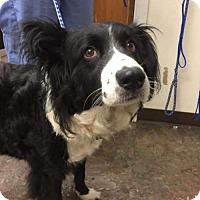 Border Collie Mix Dog for adoption in Whitestone, New York - Chaquita