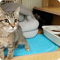 Domestic Shorthair Cat for adoption in Dallas, Texas - Purcilla