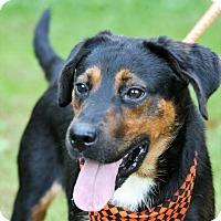 Labrador Retriever/Rottweiler Mix Dog for adoption in Transfer, Pennsylvania - Marvin