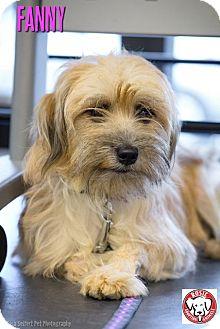 Yorkie, Yorkshire Terrier Mix Dog for adoption in Kirkland, Quebec - Fanny