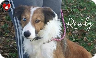 Border Collie Dog for adoption in Joliet, Illinois - Rowdy