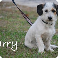 Adopt A Pet :: Larry - Minneola, FL