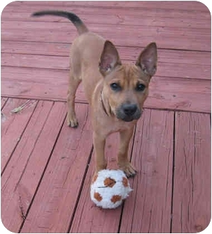 1000+ images about German Shepard Basenji Mix on Pinterest