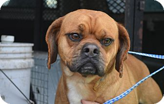 Pug/Beagle Mix Dog for adoption in New Cumberland, West Virginia - Mojo
