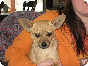 Pomeranian/Chihuahua Mix Dog for adoption in Allentown, Pennsylvania - The Fabulous Miss Ashleigh
