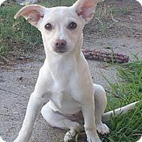 Adopt A Pet :: Heera - Torrance, CA