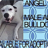 Adopt A Pet :: ANGEL - Hollywood, FL