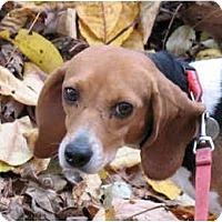 Adopt A Pet :: Willow - Blairstown, NJ