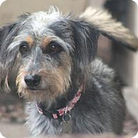 Adopt A Pet :: Annie Hall-adoption pending - Norwalk, CT
