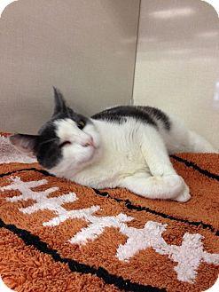 Domestic Shorthair Cat for adoption in Burbank, California - Winky
