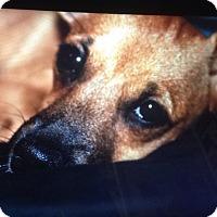 Adopt A Pet :: Brownie - Las Vegas, NV