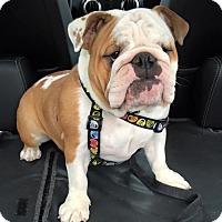 Adopt A Pet :: Madeline - Park Ridge, IL