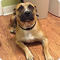 Pit Bull Terrier Mix Dog for adoption in Tanner, Alabama - Bib Baby