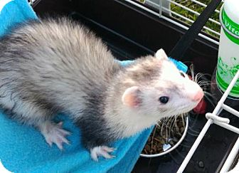 Ferret for adoption in Cleveland, Ohio - Rufus