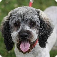 Adopt A Pet :: Roxie - Bedminster, NJ