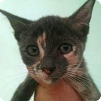 Calico Kitten for adoption in Savannah, Georgia - Ginger