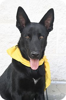 Shepherd (Unknown Type) Mix Dog for adoption in Rockville, Maryland - Scooby