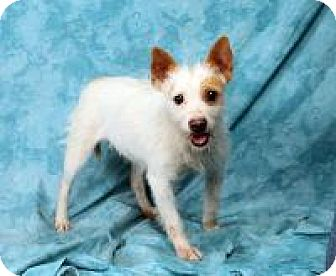 Terrier (Unknown Type, Small)/Chihuahua Mix Dog for adoption in St. Louis, Missouri - Freckles Wirehaired Chimix