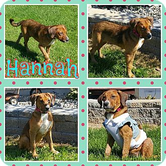 Labrador Retriever Mix Puppy for adoption in Laingsburg, Michigan - Hannah