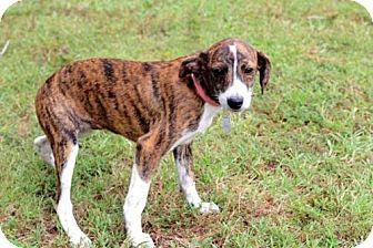 Terrier (Unknown Type, Medium) Mix Puppy for adoption in Norfolk, Virginia - PUPPY SANABEL
