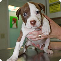 Adopt A Pet :: A Rose Puppy 7 - Pompano Beach, FL