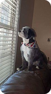 Shih Tzu Mix Dog for adoption in Byron, Georgia - LIL MAN