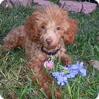 Adopt A Pet :: Topaz - Helotes, TX
