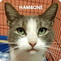 Adopt A Pet :: Hambone - Lapeer, MI
