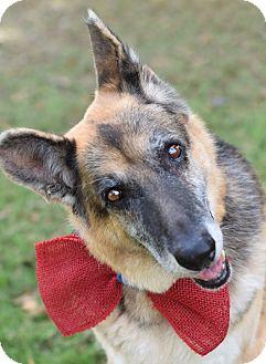 German Shepherd Dog Mix Dog for adoption in Denver, Colorado - Roady