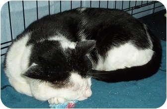 Domestic Shorthair Cat for adoption in Westfield, Massachusetts - Joker