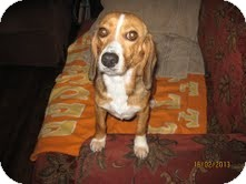 Beagle Mix Dog for adoption in Dundas, Virginia - Sweet Pea - Courtesy Post