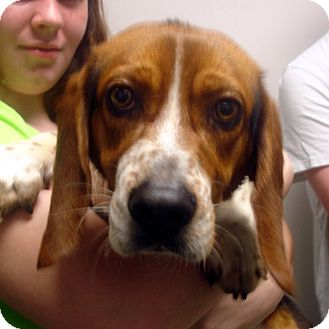 Basset Hound Dog for adoption in baltimore, Maryland - Ben
