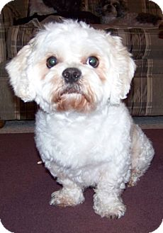 Shih Tzu/Poodle (Miniature) Mix Dog for adoption in Mays Landing, New Jersey - Fluffy-NJ