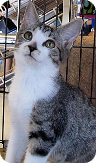 Domestic Shorthair Kitten for adoption in Seminole, Florida - Norma