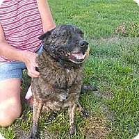 Australian Cattle Dog Mix Dog for adoption in Rayville, Louisiana - Graycee