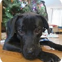 Adopt A Pet :: Bella Boop - Lewisville, IN